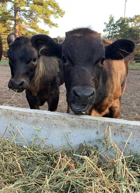Morace Cattle - Wagyu Beef Cattle For Sale